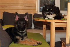 German Shepherd puppy and cat Royalty Free Stock Photography