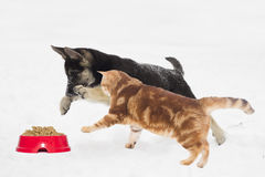 German Shepherd puppy and cat Stock Images
