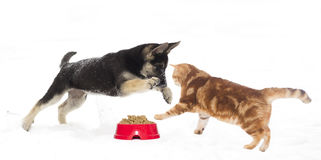 German Shepherd puppy and cat Stock Photography