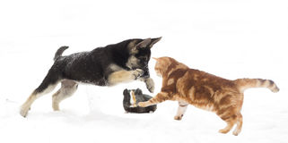 German Shepherd puppy and cat jumping Stock Image