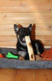German Shepherd puppy. Chewing on a big stick Royalty Free Stock Image