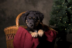 German Shepherd Puppy in Christmas Basket Royalty Free Stock Photography