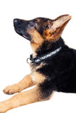 German shepherd puppy closeup. On white background Royalty Free Stock Photos