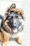 German Shepherd Puppy Royalty Free Stock Image