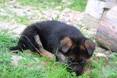 German shepherd puppy Stock Images