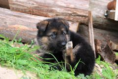 The German Shepherd puppy Stock Photos