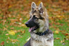 German shepherd puppy dog Royalty Free Stock Photos