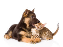 German shepherd puppy dog biting bengal cat. isolated on white Stock Photography