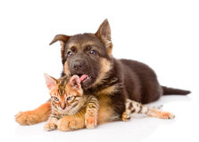 German shepherd puppy dog licking little bengal cat. isolated on Stock Photography