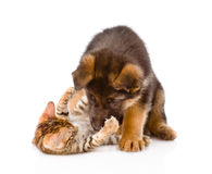 German shepherd puppy dog playing with little bengal cat. isolated Stock Photography