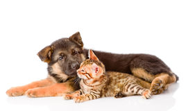German shepherd puppy dog sniffs bengal cat. isolated on white Stock Photo