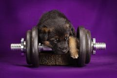 German Shepherd puppy with dumbbell. Purple background. Royalty Free Stock Image