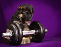 German Shepherd puppy with dumbbell. Purple background. Royalty Free Stock Photos
