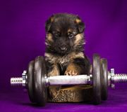 German Shepherd puppy with dumbbell. Purple background. Stock Images