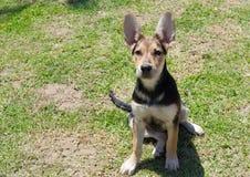German Shepherd puppy. In the garden Stock Images
