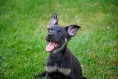 German shepherd puppy in the grass stock photo