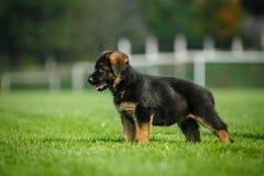 German Shepherd puppy. On a green field Stock Image