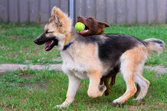 German Shepherd puppy having fun with friend. Stock Photography