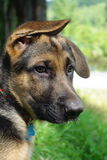 German Shepherd Puppy. Image of a German Shepherd puppy with one ear up and one ear down Stock Image