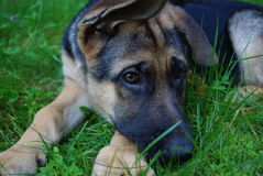German Shepherd Puppy. Image of a German Shepherd puppy with one ear up and one ear down Royalty Free Stock Images