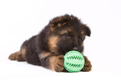 German shepherd puppy isolated on white with ball. Germen shepherd puppy isolated on white with green ball Royalty Free Stock Image