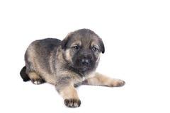 German shepherd puppy isolated on white Stock Photos