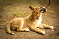 German shepherd puppy play with stick close up outdoor summer ph Royalty Free Stock Photo