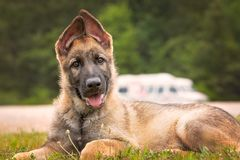 German Shepherd puppy. Laying down Royalty Free Stock Image