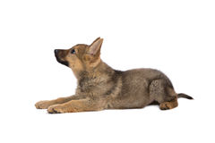 German shepherd puppy looking up Royalty Free Stock Image