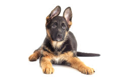 German Shepherd Puppy looking Royalty Free Stock Photography