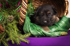 German shepherd puppy lying in a basket with fir branches. Purple background. Royalty Free Stock Photography