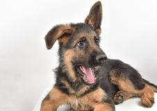 German shepherd puppy lying down. White backround Stock Image