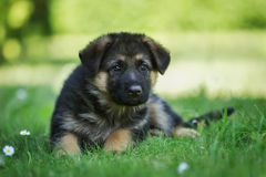 German shepherd puppy lying in the grass Stock Photo