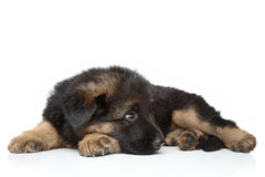 German shepherd puppy lying Stock Photography