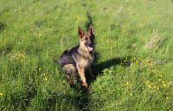 The German Shepherd  puppy 10 month Royalty Free Stock Photos