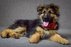 German Shepherd Puppy. German shepherd puppy 2 months of age Royalty Free Stock Photo