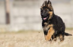 German shepherd puppy outdoors royalty free stock photography