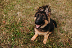 German shepherd puppy. In the park stock photography