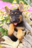 German Shepherd Puppy with paws on an old stump Royalty Free Stock Photography