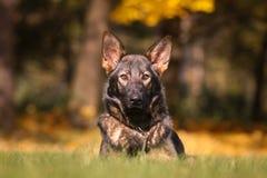 German shepherd puppy. Photo of german shepherd puppy shortcoat Stock Image