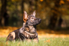German shepherd puppy. Photo of german shepherd puppy shortcoat Royalty Free Stock Photography
