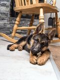 German shepherd puppy playing Royalty Free Stock Photos