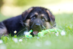 German shepherd puppy playing with rope Royalty Free Stock Images