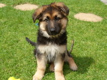 German Shepherd Puppy Portrait - age 10 weeks Royalty Free Stock Photo
