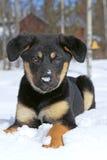 German Shepherd puppy Royalty Free Stock Image