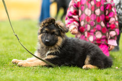 German shepherd puppy Royalty Free Stock Photo