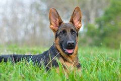 German shepherd puppy outside in green grass. German shepherd puppy red and black with big ears stock photos