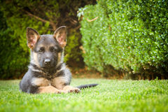 German shepherd puppy relaxing on a warm summer day Stock Image