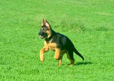 A German Shepherd puppy running across green grass. A German Shepherd is running across a green lawn. He is still a puppy, his ears just beginnning to stand stock images