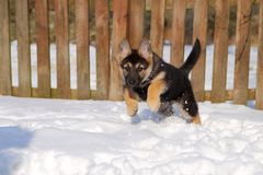 German shepherd puppy running royalty free stock photos